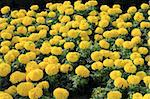 group of yellow marigolds Stock Photo - Royalty-Free, Artist: kokotewan                     , Code: 400-05273923