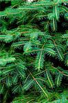 pine tree background Stock Photo - Royalty-Free, Artist: marylooo                      , Code: 400-05274006