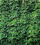 Green vitis foliage in summer Stock Photo - Royalty-Free, Artist: 4dcrew                        , Code: 400-05280267