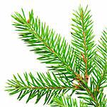 green branch of fir isolated on white