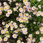 violet camomile Stock Photo - Royalty-Free, Artist: loskutnikov                   , Code: 400-05301226