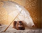 Rudy somali cat portrait under lace umbrella on vintage background Stock Photo - Royalty-Free, Artist: JuliaSha                      , Code: 400-05312987