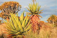 Cactus and Desert landscape with granite rocks and a quiver tree (Aloe dichotoma), Namibia, southern Africa (Background blurred) Stock Photo - Royalty-Freenull, Code: 400-05321784