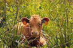 A Spanish Cow relaxing in the sunshine (Andalucia)