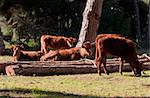 A herd of Spanish cows relaxing in the sunshine in Southern Spain