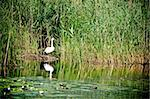 wild swan in reeds on the pond Stock Photo - Royalty-Free, Artist: tarczas                       , Code: 400-05326305