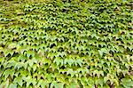 Wall of ivy provides a lush, green backdrop Stock Photo - Royalty-Free, Artist: velkol                        , Code: 400-05326414