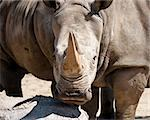 Rhinoceros keep in captivity at a zoo Stock Photo - Royalty-Free, Artist: jeanro                        , Code: 400-05328884