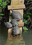 four water turtles rests in the marsh Stock Photo - Royalty-Free, Artist: nico99                        , Code: 400-05335748