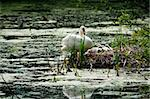 swan and chicks in the nest Stock Photo - Royalty-Free, Artist: tarczas                       , Code: 400-05338286