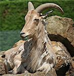 Barbary Sheep animal Stock Photo - Royalty-Free, Artist: rhallam                       , Code: 400-05339179