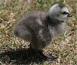 Barnacle Geese goslings 2 Stock Photo - Royalty-Free, Artist: rhallam                       , Code: 400-05339180
