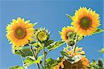 sunflowers on blue sky background Stock Photo - Royalty-Free, Artist: tarczas                       , Code: 400-05342735