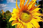 sunflower on blue sky background in summer day Stock Photo - Royalty-Free, Artist: tarczas                       , Code: 400-05344017