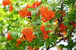 Bright rowan berries on a tree Stock Photo - Royalty-Free, Artist: pahham                        , Code: 400-05344204