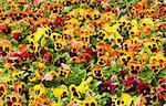 viola tricolor pansy, flowerbed Stock Photo - Royalty-Free, Artist: loskutnikov                   , Code: 400-05344219