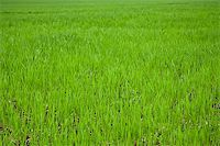 green grass on field close up for background Stock Photo - Royalty-Freenull, Code: 400-05346930