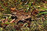 Young common toad (Bufo bufo) in habitat Stock Photo - Royalty-Free, Artist: tdietrich                     , Code: 400-05347066