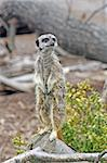stunning meerkat looking alert Stock Photo - Royalty-Free, Artist: lizapixels                    , Code: 400-05347375