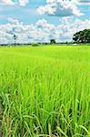 rice field and blue sky Stock Photo - Royalty-Free, Artist: pariwatlp                     , Code: 400-05348136
