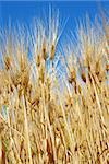yellow wheat filed over blue sky background Stock Photo - Royalty-Free, Artist: simply                        , Code: 400-05350721