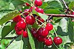 Many red cherry in sunny day Stock Photo - Royalty-Free, Artist: A7880S                        , Code: 400-05350821