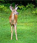 Whitetail buck on a green field after a rain storm Stock Photo - Royalty-Free, Artist: gsagi                         , Code: 400-05352621
