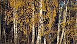 Birch tress with colorful leaves in autumn Stock Photo - Royalty-Free, Artist: PinkBadger                    , Code: 400-05354020