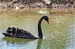 a stunning black swan on a lake