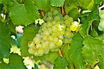 white ripe grapes in a vineyard Stock Photo - Royalty-Free, Artist: Jochen                        , Code: 400-05357398