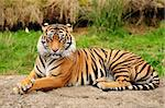 Portrait of a Royal Bengal tiger alert and staring at the camera Stock Photo - Royalty-Free, Artist: neelsky                       , Code: 400-05359835