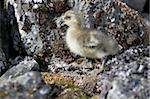 Barnacle goose chick - Spitsbergen, Svalbard, Arctic Stock Photo - Royalty-Free, Artist: erectus                       , Code: 400-05361268