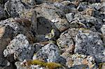 Barnacle goose chick - Spitsbergen, Svalbard, Arctic Stock Photo - Royalty-Free, Artist: erectus                       , Code: 400-05361269