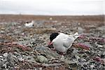 Wild Arctic tern on the nest Stock Photo - Royalty-Free, Artist: erectus                       , Code: 400-05361325