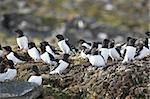Little auks (alle alle) in natural Arctic habitat - Spitsbergen, Svalbard Stock Photo - Royalty-Free, Artist: erectus                       , Code: 400-05361327