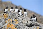 Little auks (alle alle) in natural Arctic habitat - Spitsbergen, Svalbard Stock Photo - Royalty-Free, Artist: erectus                       , Code: 400-05361360
