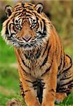Portrait of a beautiful male Sumatran tiger in a reserve of endangered species Stock Photo - Royalty-Free, Artist: neelsky                       , Code: 400-05366552