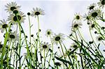 beautiful camomiles  on a green meadow Stock Photo - Royalty-Free, Artist: JanBussan                     , Code: 400-05367974