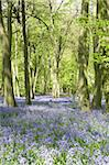 Bluebells Growing In Woodland Stock Photo - Royalty-Free, Artist: MonkeyBusinessImages          , Code: 400-05374263