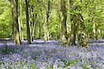 Bluebells Growing In Woodland Stock Photo - Royalty-Free, Artist: MonkeyBusinessImages          , Code: 400-05374264