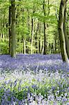 Bluebells Growing In Woodland Stock Photo - Royalty-Free, Artist: MonkeyBusinessImages          , Code: 400-05374267