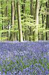Bluebells Growing In Woodland Stock Photo - Royalty-Free, Artist: MonkeyBusinessImages          , Code: 400-05374268