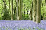 Bluebells Growing In Woodland Stock Photo - Royalty-Free, Artist: MonkeyBusinessImages          , Code: 400-05374269