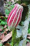 Green and red ripening pod of Arriba cacao growing on a tree of Theobroma cacao on an organic plantation in southern Ecuador.  Arriba cacao is native to Ecuador and is thought to produce some of the best tasting chocolate in the world. Stock Photo - Royalty-Free, Artist: sgoodwin4813                  , Code: 400-05376565