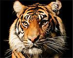 Portait of a majestic Sumatran tiger over black Stock Photo - Royalty-Free, Artist: neelsky                       , Code: 400-05378768