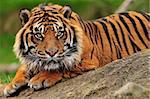 Beautiful sumatran tiger crouching on a rock Stock Photo - Royalty-Free, Artist: neelsky                       , Code: 400-05379285