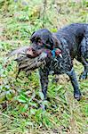 hunting dog with a catch Stock Photo - Royalty-Free, Artist: phbcz                         , Code: 400-05379997