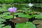 Twin lotus in pond. Stock Photo - Royalty-Free, Artist: prateepp                      , Code: 400-05380176