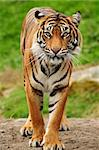 Vertical portrait of a Royal bengal tiger Stock Photo - Royalty-Free, Artist: neelsky                       , Code: 400-05380984