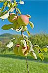 apple tree Stock Photo - Royalty-Free, Artist: Jochen                        , Code: 400-05381078